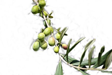 Plantas de aceituna